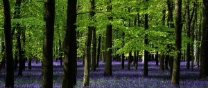 Ashridge-Park-Hertfordshire-UK-the-National-Trust-Woodlands-carpeted-with-English-Bluebells-in-Spring