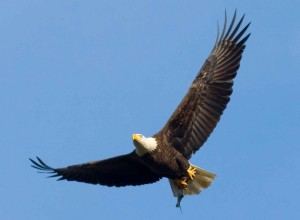 bald-eagle-with-fish-in-its-talons_w725_h532