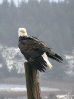 bald_eagle_perched