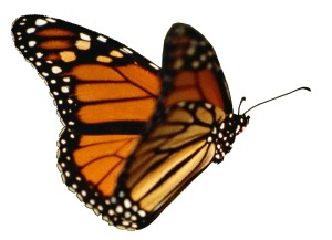 monarch-butterfly-drawing-flying