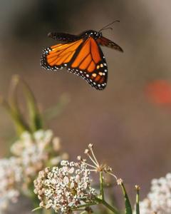 monarch-butterfly-flying-away