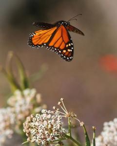 monarch-butterfly-flying-away