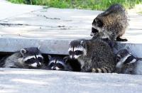 gina halferty/staff, herald news, 7/11/06 A mother raccoon ( far left) and four of her youngsters take a peek out of their storm drain home in Tracy this afternoon.
