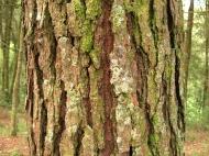 Pine_bark_tecpan_guatemala