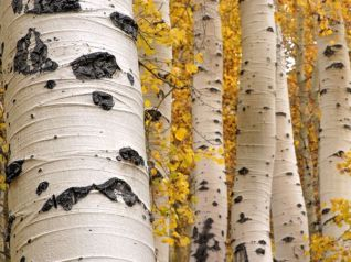 quaking-aspen-trees_1497_600x450