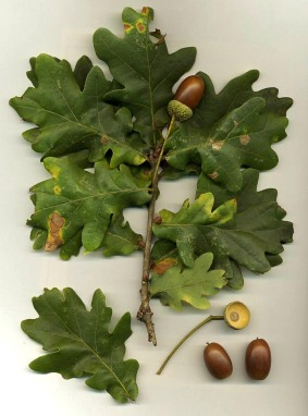 Quercus_robur Oak