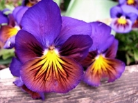 winter-pansy