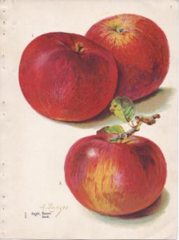 apples_baxter_stark-763x1024