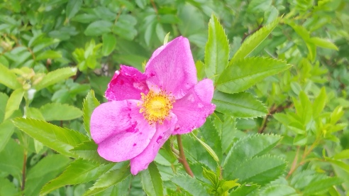Clove scented Wild Roses Rockland Light (1)